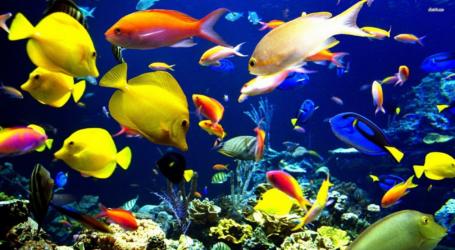 تعتبر إندونيسيا المصدر الرئيسي للأسماك الزينة في العالم